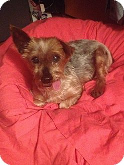 Yorkie, Yorkshire Terrier Mix Dog for adoption in Honeoye Falls, New York - Junie