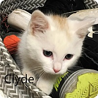Adopt A Pet :: Clyde - N. Billerica, MA
