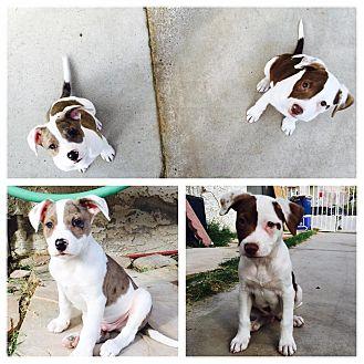 Border Collie/Blue Heeler Mix Puppy for adoption in Las Vegas, Nevada - Kingston