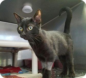 Bombay Kitten for adoption in Elyria, Ohio - Jinx