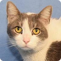 Domestic Shorthair Cat for adoption in Media, Pennsylvania - Tina (No adoption fee!)
