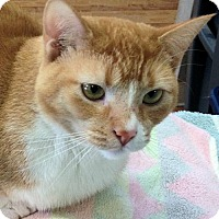 Domestic Shorthair Cat for adoption in Manchester, Missouri - Kiara
