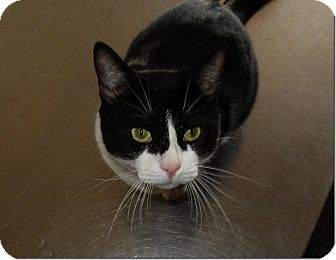 American Shorthair Cat for adoption in Weatherford, Texas - Churchill