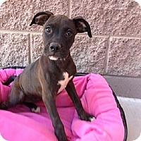 Adopt A Pet :: Bella - Mesa, AZ