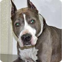 Adopt A Pet :: Ty - Port Washington, NY
