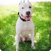 Adopt A Pet :: Thor - San Antonio, TX