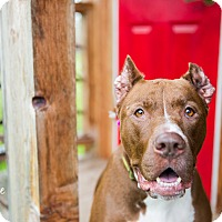 Adopt A Pet :: Diamond (foster) - Portland, OR