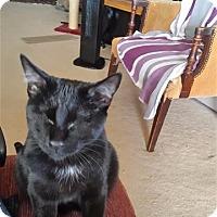 Adopt A Pet :: Blackie  - Blind - Incline Village, NV