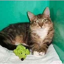 Photo 3 - Domestic Mediumhair Kitten for adoption in Secaucus, New Jersey - The Commander