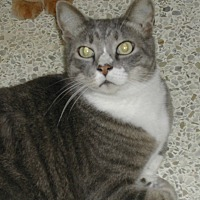 Domestic Shorthair Cat for adoption in Bonita Springs, Florida - Shadow