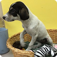 Adopt A Pet :: Sadie Bell - Decatur, AL