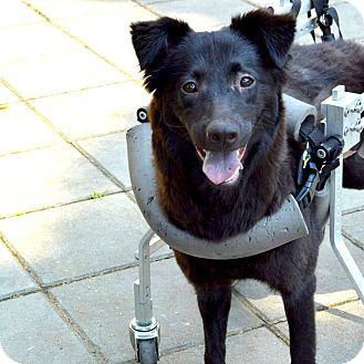 Belgian Shepherd/Border Collie Mix Dog for adoption in San Francisco, California - Tina