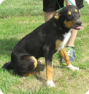 Hound (Unknown Type)/Blue Heeler Mix Dog for adoption in Reeds Spring, Missouri - Titan