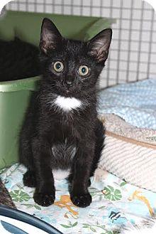 Domestic Shorthair Kitten for adoption in Trevose, Pennsylvania - Deva