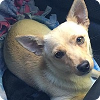 Chihuahua Mix Dog for adoption in Placerville, California - Kit