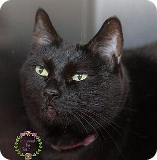 Domestic Shorthair Cat for adoption in Sierra Vista, Arizona - Midnight