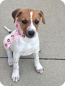 Jack Russell Terrier Mix Puppy for adoption in Burlington, Vermont - Daisy (has been adopted)