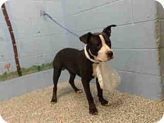 Pit Bull Terrier Mix Dog for adoption in San Bernardino, California - URGENT ON 9/14  San Bernardino
