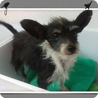 Adopt A Pet :: Yatsi - Mesa, AZ
