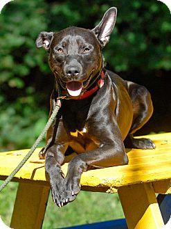 Pharaoh Hound/Shepherd (Unknown Type) Mix Dog for adoption in Pottsville, Pennsylvania - Pharoh