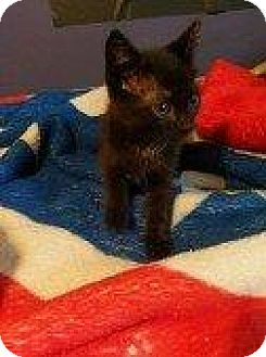 Domestic Shorthair Kitten for adoption in Hampton, Virginia - DAKOTA