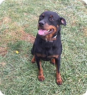 Rottweiler Mix Dog for adoption in Elyria, Ohio - Bear