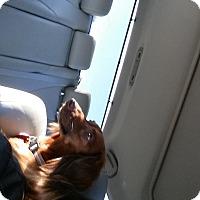 Dachshund Dog for adoption in Pinellas Park, Florida - Missy