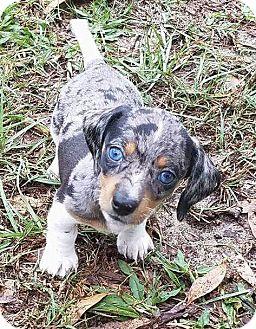Dachshund Puppy for adoption in Marlton, New Jersey - Blu