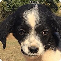 Adopt A Pet :: Hanz - Spring Valley, NY