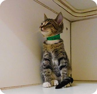 Domestic Shorthair Cat for adoption in Tupelo, Mississippi - Marina-102613j