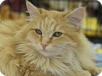 Domestic Longhair Cat for adoption in Great Falls, Montana - Bobbi