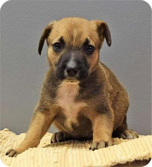 Terrier (Unknown Type, Medium) Mix Puppy for adoption in Valparaiso, Indiana - Yam