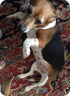 Beagle Mix Dog for adoption in Waldorf, Maryland - Gwen Smith
