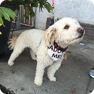 Poodle (Miniature) Dog for adoption in Ventura, California - Troy