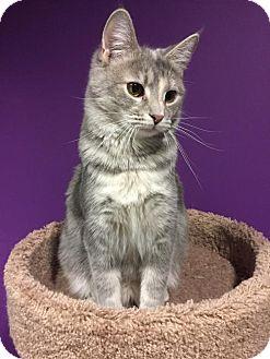 Domestic Shorthair Kitten for adoption in Herndon, Virginia - Autumn