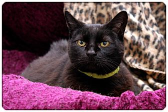 Domestic Shorthair Cat for adoption in Sterling Heights, Michigan - Gabby-ADOPTED