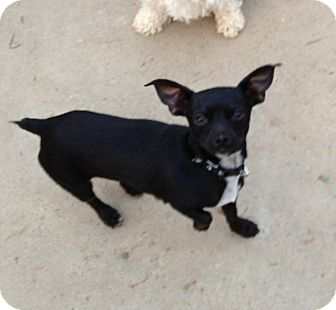 Chihuahua/Terrier (Unknown Type, Small) Mix Dog for adoption in Gustine, California - LITTLE MAN