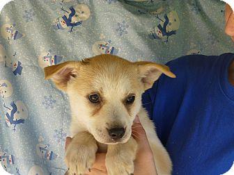 Husky/Labrador Retriever Mix Puppy for adoption in Oviedo, Florida - Brandy