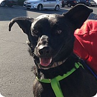 Adopt A Pet :: Blacky - Las Vegas, NV