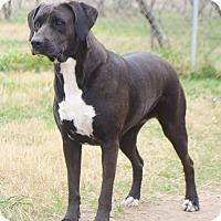 Boxer/Labrador Retriever Mix Dog for adoption in Iola, Texas - Jessie