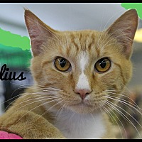 Domestic Shorthair Cat for adoption in Wichita Falls, Texas - Julius