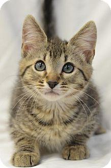 Domestic Shorthair Cat for adoption in Atlanta, Georgia - Crawford 160558