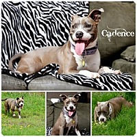 Pit Bull Terrier Dog for adoption in Sioux Falls, South Dakota - Cadence