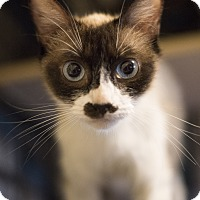 Siamese Cat for adoption in Houston, Texas - JUNO
