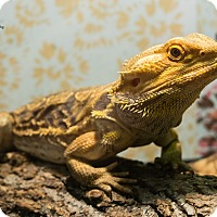 Lizard for adoption in Manhattan, Kansas - Speedy