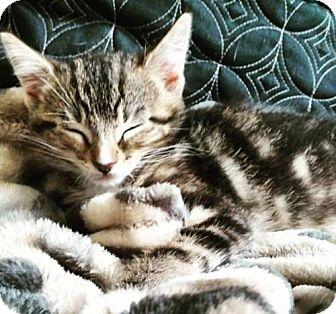 Domestic Shorthair Kitten for adoption in Logan, Utah - Maverik