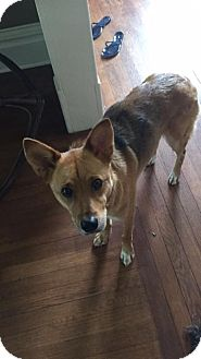 Shepherd (Unknown Type) Mix Dog for adoption in Springfield, Missouri - Roxy