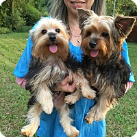 Yorkie, Yorkshire Terrier Puppy for adoption in Conroe, Texas - Sergeant Pepper
