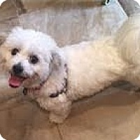 Bichon Frise/Shih Tzu Mix Puppy for adoption in N. Babylon, New York - Khloe