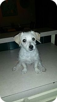 Norfolk Terrier/Australian Terrier Mix Puppy for adoption in La Verne, California - Lily Bug